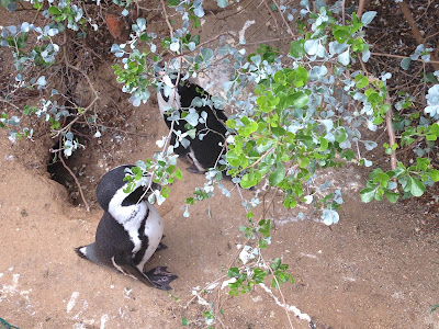 penguin in real life, penguins close up, boulders beach, south africa, simons town