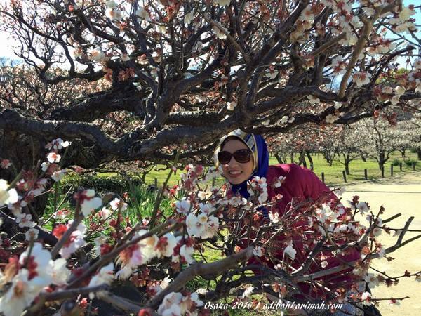 bunga sakura kembang mekar