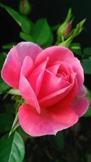 rosa-de-petalos-rosados