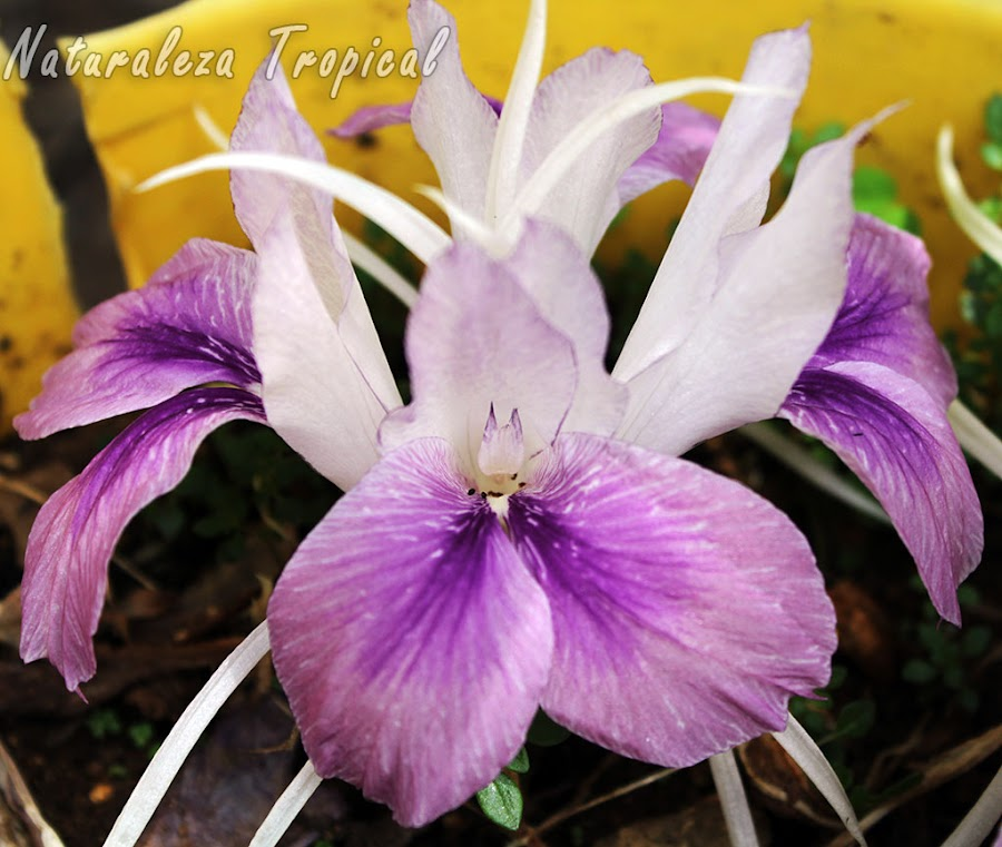 Flor del Lirio de la Resurrección, Kaempferia rotunda