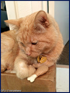 Carmine is curled up on a box with his new catnip drumstick from Housecat Club.