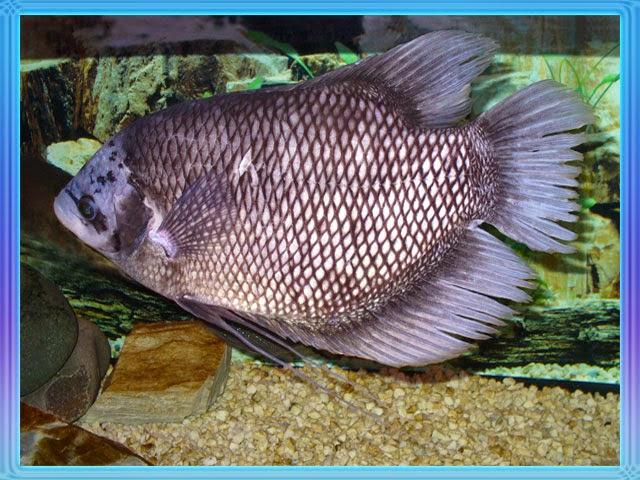 gambar ikan gurame