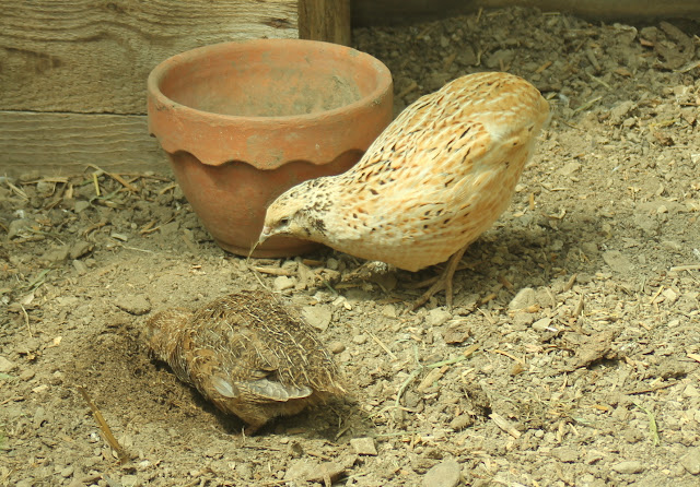 Organically raised quail and her seven week old chick