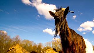 delapan ekor hewan yang berpasangan dari binatang ternak DALAM AL-QURAN