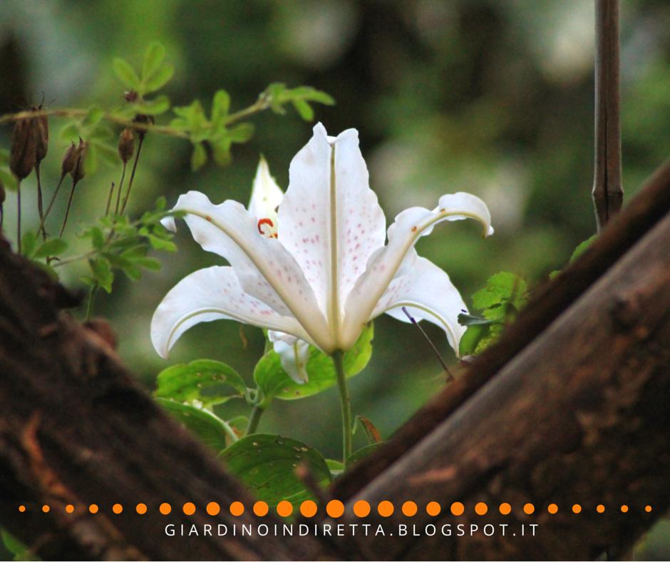 Fiori di luglio lilium muscadet un giardino in diretta - Fiori di giardino ...