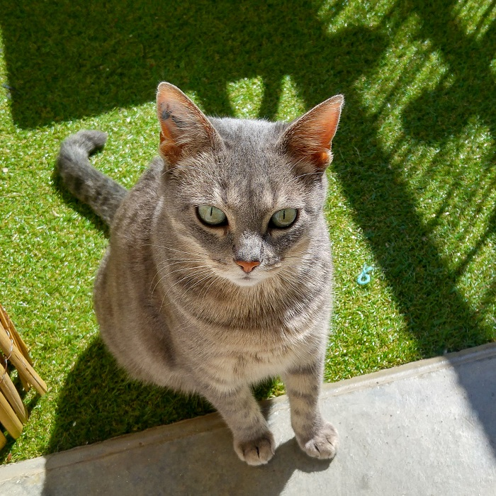 Photo de Châtaigne dehors, chatte tigrée Hello c'est Marine