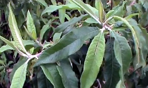 Assa-peixe (Vernonia polyanthes Less.)