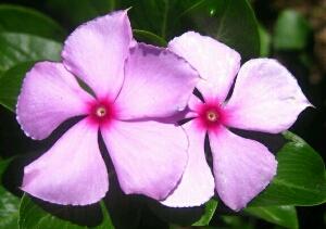 khasiat tanaman tapak dara
