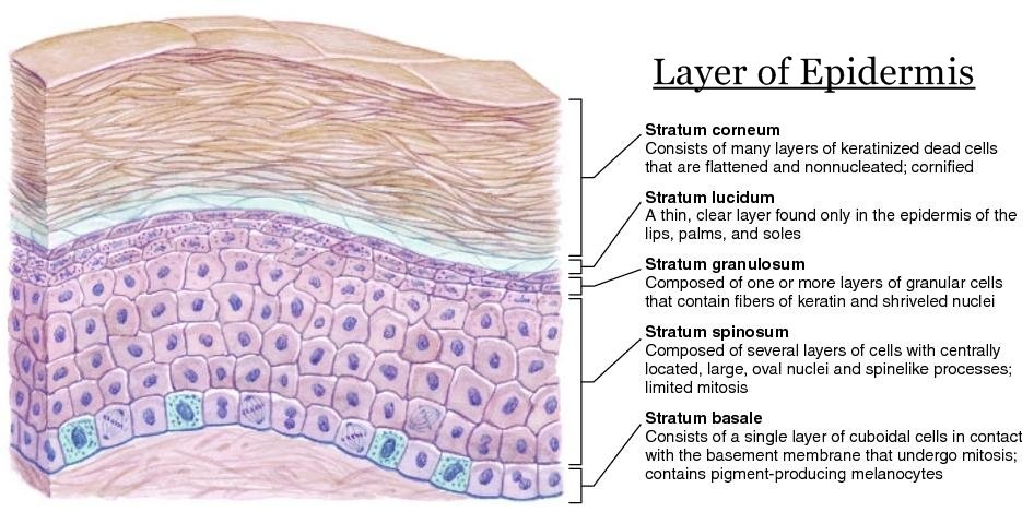7 Layers Of Skin Diagram Drawing Mini Handbooks: Structure