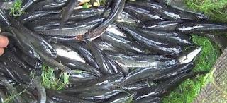 cara budidaya ikan gabus kolam terpal,cara budidaya ikan gabus di kolam tanah,cara budidaya ikan gabus pdf,cara budidaya ikan gabus di kolam,
