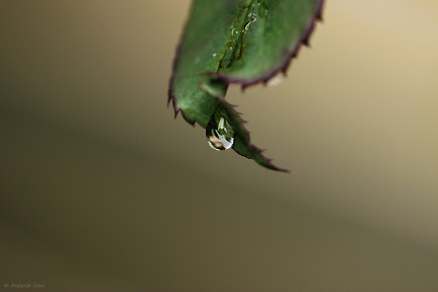 A Minimalist Photo of Water Droplet Falling Down From Rose Plant Leaf