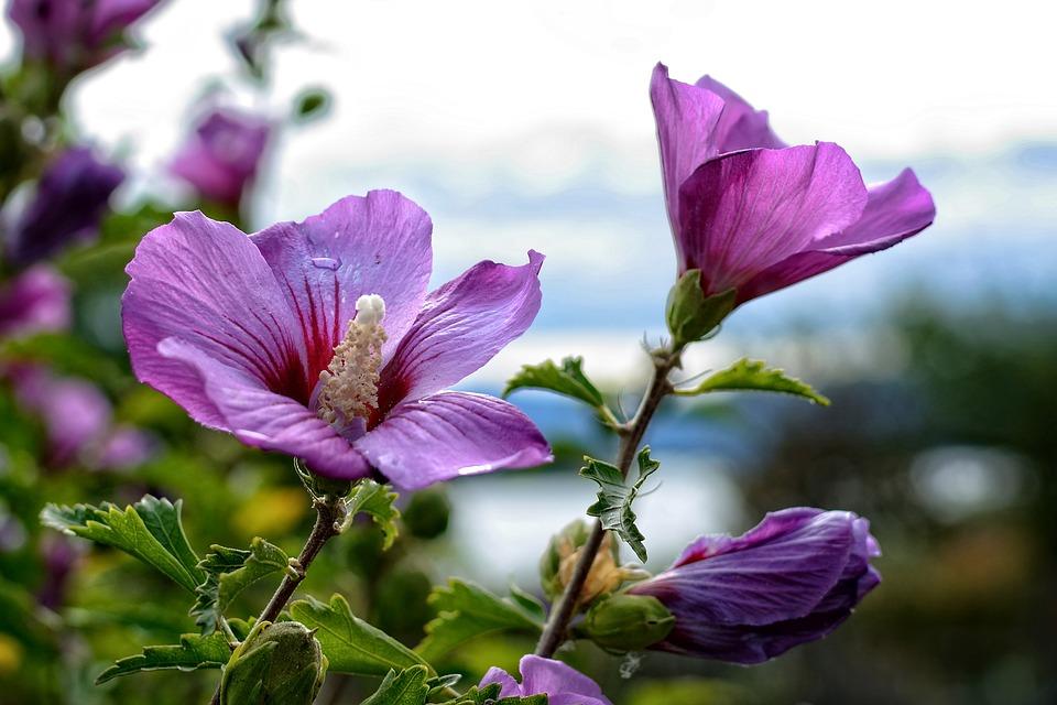 Mengenal Apa Itu Bunga Rosella Tukang Taman Surabaya