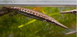 ikan aligator terbesar dan Florida gar (Lepisosteus platyrhincus)