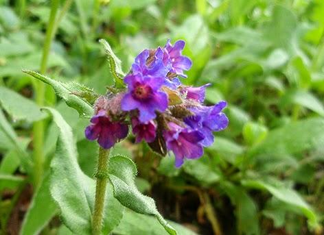 Pulmonaria (Pulmonaria officinalis)flor silvestre azul