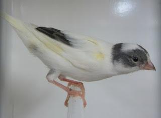 Mengenal Burung Kenari, Klasifikasi Ciri Ciri dan Perawatannya