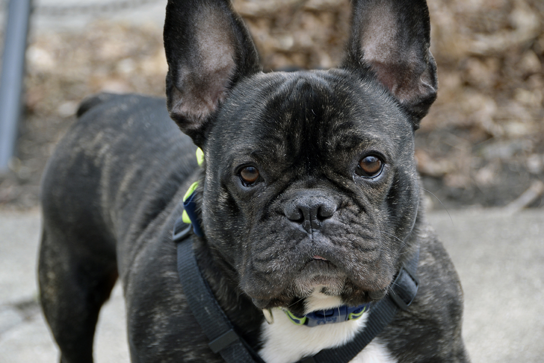 adopting a rescued  French Bull Dog