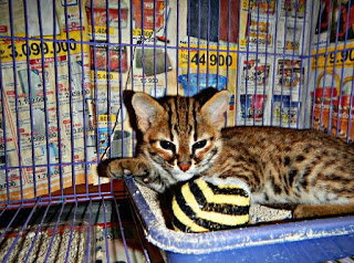 http://tipspetani.blogspot.com/2017/10/cara-merawat-kucing-hutan-agar-jinak.html