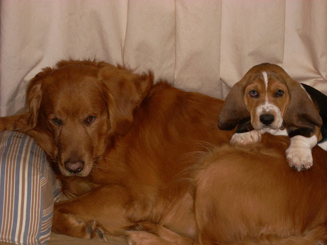 Golden Retriever with Basset Hound puppy