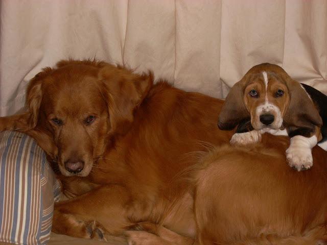 Golden Retriever with Basset Hound puppy