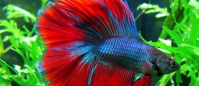 5 Penyakit Ikan Cupang dan Cara Mengobatinya secara Alami