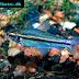 Oneline Tetra (Nannaethiops unitaeniatus)
