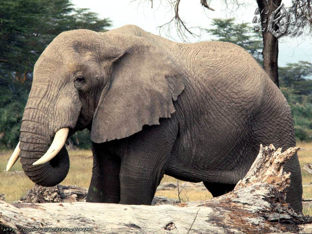 FotoFoto Binatang  Gambar Gajah