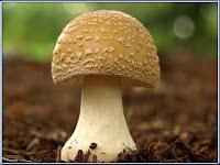 mushroom - le champignon - Agaricus Bisporus
