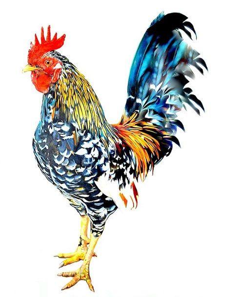Galinhas e Galos   Belas Aves Domésticas