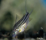 Jenis Ikan Corydoras napoensis