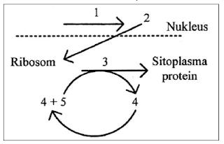 skema sintesis protein