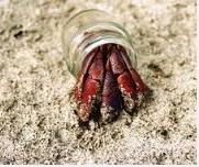 Kepiting Hermit Hewan Peliharaan Omivora Untuk Terarium rumah botol