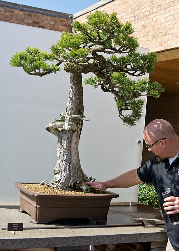 It Is Located At Chicago Botanic Garden In The Bonsai Collection Chris Baker Curator Of And I Yzed Tree Stud