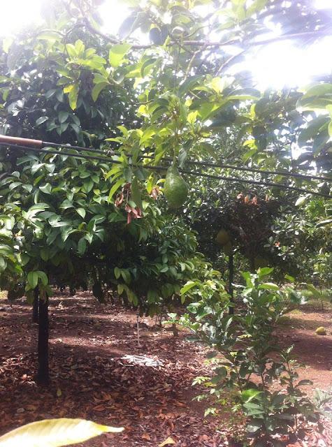 Bán đất vườn trái cây chính chủ tại Phường Bảo Vinh, thị xã Long Khánh 04