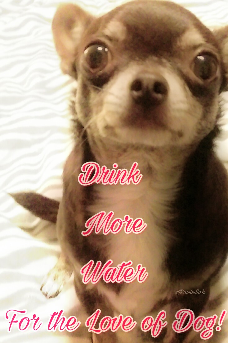 Chihuahua quote, drink more water for the love of dog