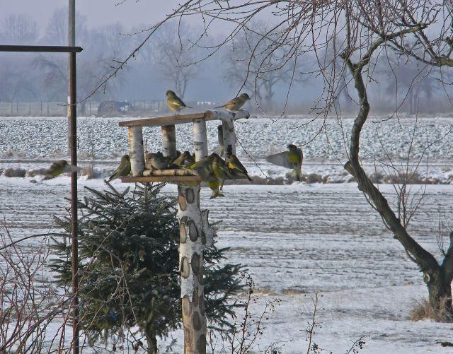 karmnik, brzoza, zima, śnieg