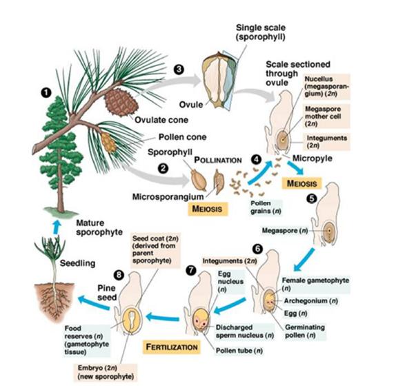Contoh proses pembuahan tunggal pada Pinus (Gymnospermae)