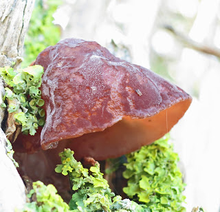Auricularia auricula-judae at its bell-shaped stage.