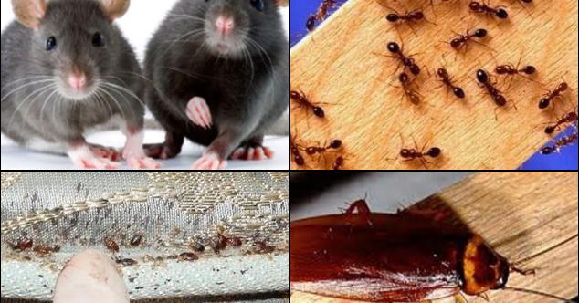 Cara Ini Sangat Ampuh Bebaskan Rumah Anda Dari Semut, Tikus, Kecoa Dan Kutu Busuk, Yuk Share!!!