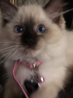 Image: Princess seal point rag doll kitten.