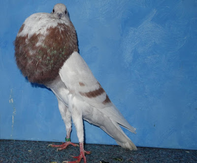 pouter pigeons - pigeons pictures