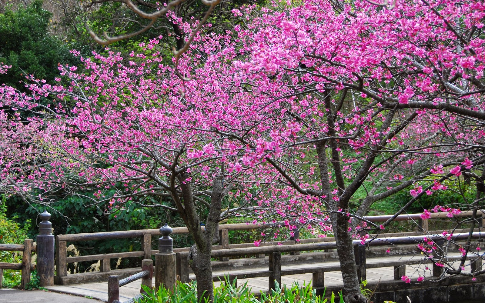 HD Wallpapers Desktop: Sakura Tree HD Wallpapers