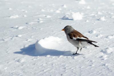 Gorrión alpino (Montifringilia nivalis). Acostumbrado a la nieve y a las condiciones duras de las altas cumbres.