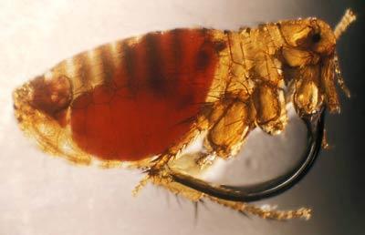 adult-fleas-get-rid-of-fleas-eggs-adult-fleas