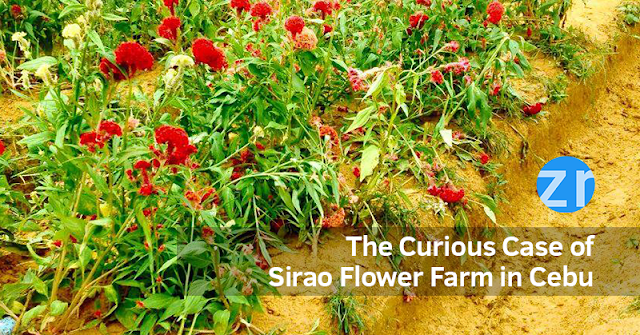 The Curious Case of Sirao Flower Farm in Cebu