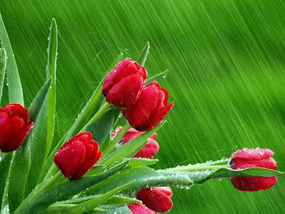 Red Rose allfreshwallpaper