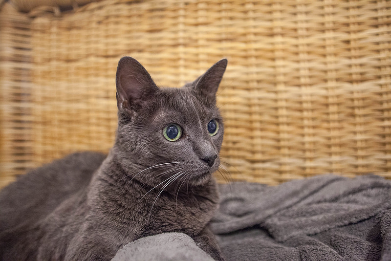 Wanting to get pets? Try Pet Sitting First, russian blue