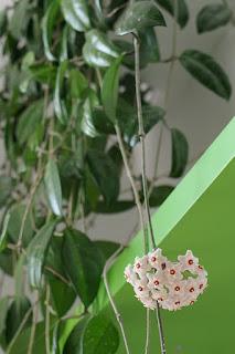 hoja kwiaty
