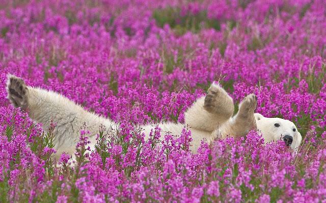 Witte ijsbeer tussen de roze bloemen
