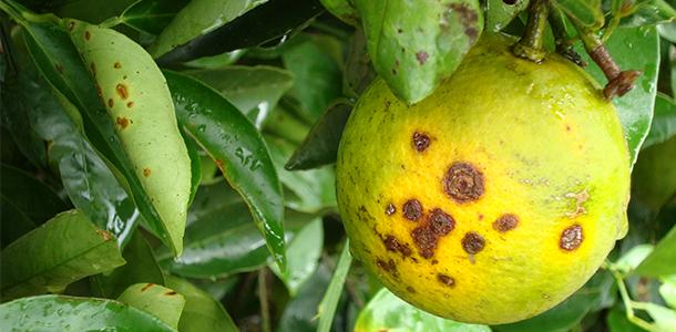Qualidade! Rondônia é reconhecido como área ausente de praga para cancro cítrico