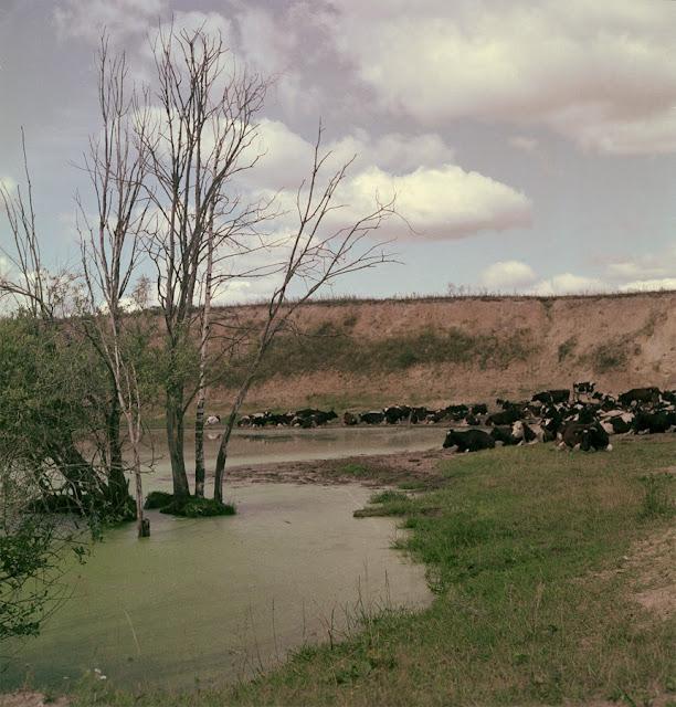 Пейзаж с коровами. Скан